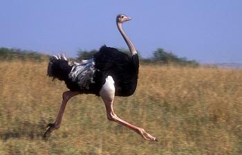 В Киргизии впервые прооперировали страуса с переломом костей