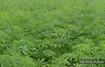 На муниципальном участке города Токмок обнаружили крупную плантацию конопли