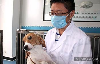 В Китае представили первую клонированную генномодифицированную собаку