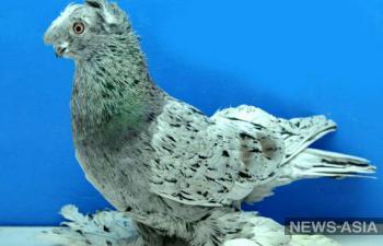 В Узбекистане состоится фестиваль декоративных голубей