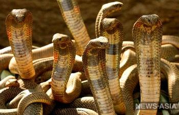 Ядовитые змеи Таджикистана вышли на работу: их яд понадобился для лекарств