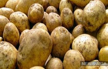 Картофель из Кыргызстана возвращается в Узбекистан