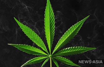 Иностранные инвесторы предложили Казахстану выращивать марихуану в лечебных целях