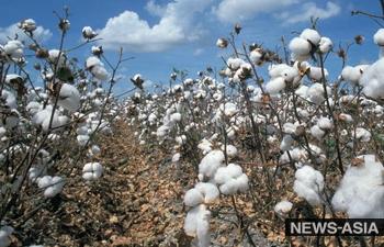 Узбекистан прекращает экспорт хлопка-сырца за рубеж