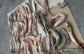 В Казахстане зооинспекторы и браконьеры уничтожили более тонны осетровых