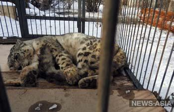 В Кыргызстане спасли от гибели пожилого снежного барса