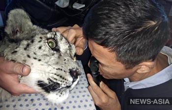 Маленький барс, раненый в Кыргызстане, останется слепым – врачи бессильны