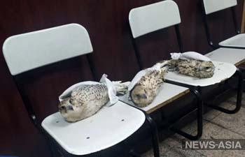 В Кыргызстане мужчина пытался вывезти контрабандой соколов, часть птиц погибла