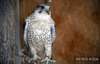 Птицы, которых спасли от контрабандистов в аэропорту «Манас», проходят реабилитацию – NABU