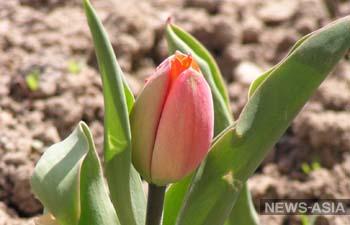 Сорт нидерландского тюльпана назвали в честь президента Казахстана