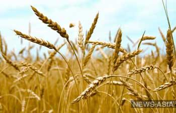 В Киргизии снизилась урожайность зерновых культур