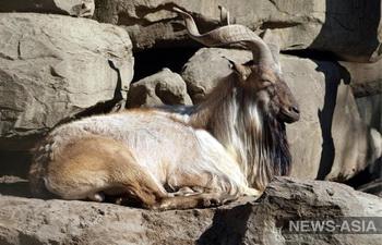 Таджикских экологов наградили за сохранение популяции винторогих козлов