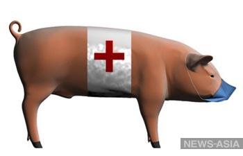 Свиной грипп снова пришёл в Киргизию